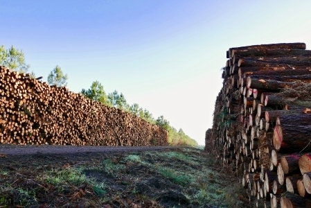 France: Lower prices for maritime pine confirmed by latest auctions