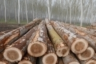 France: poplar price increase after a period of stagnation