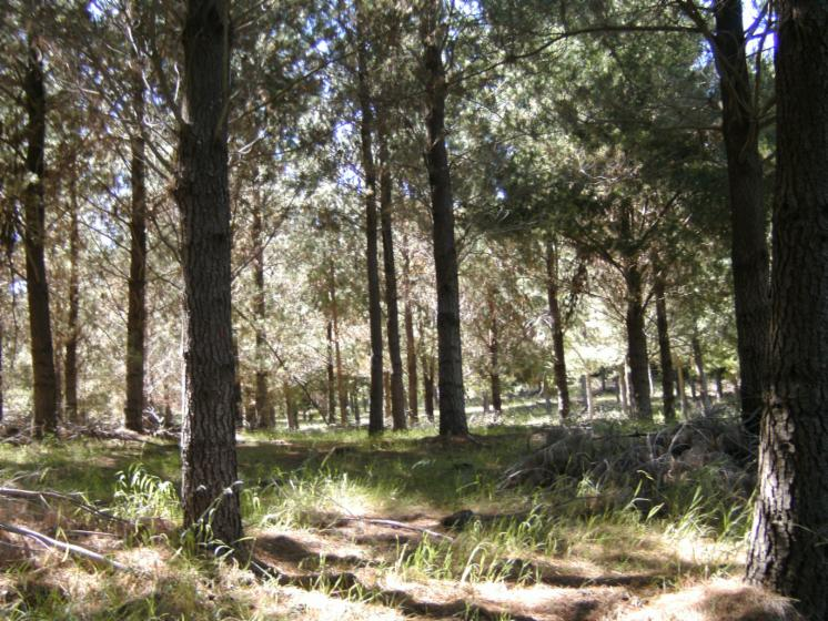 Chile, Radiata Pine (Pinus radiata