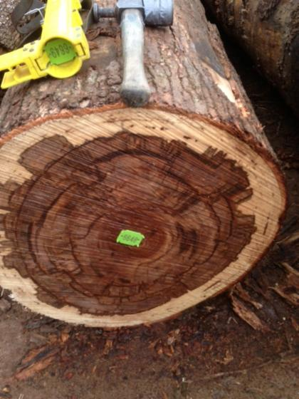 veneer logs, Gum (Sap gum