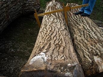 单板级原木, 胡桃木(欧洲的)