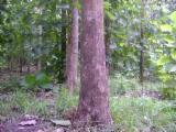 Standing Timber - Colombia, Pine (Pinus sylvestris) - Redwood