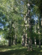 Standing Timber France - 32 year old Poplar trees to be cut up