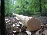 null - Douglas Fir Peeling and Sawing Logs, diameter 50 cm