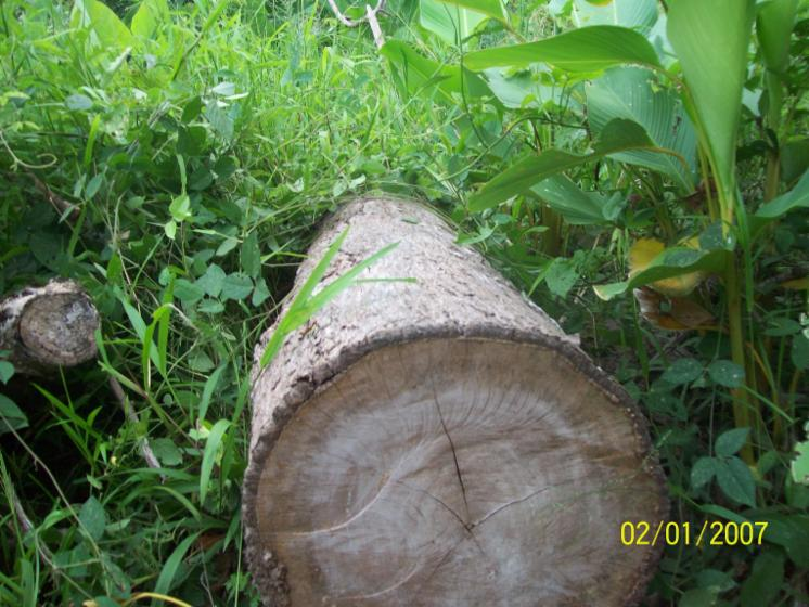 saw logs, Teak, Panama