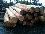 Stämme Für Die Industrie, Faserholz Weichholz  Zu Verkaufen - Stämme Für Die Industrie, Faserholz, Hemlocktanne