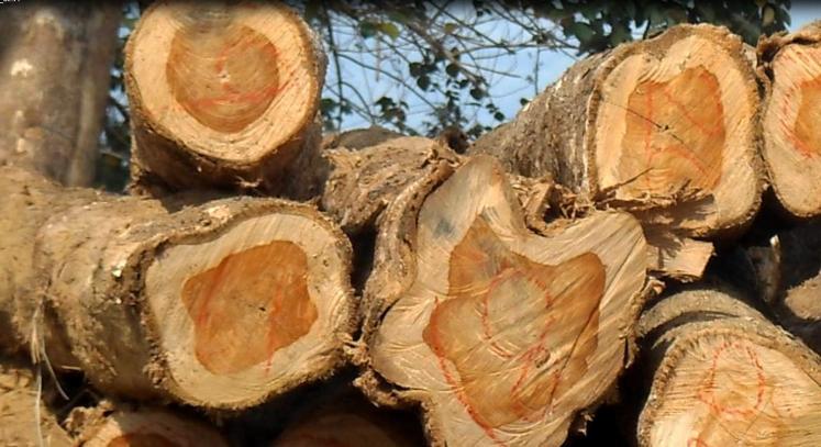 Venta de madera teca en troncos for Vetas en la madera