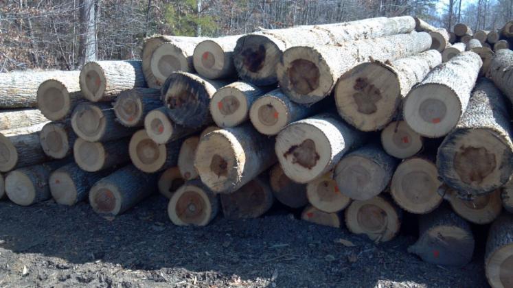 Poplar logs suitable for veneers and lumber