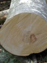 null - Beech logs for rotary cut veener