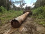 Schnittholzstämme, Cedro, FSC
