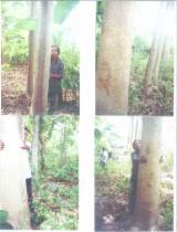 We can provide white teak logs