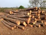 Wood Logs For Sale - Find On Fordaq Best Timber Logs - Industrial Logs, Caucasian fir