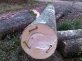 Wälder Und Rundholz Nordamerika - Buche