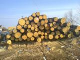 Softwood  Logs Spruce Picea Abies - Whitewood - We are looking for Spruce and Pine Logs from Europe