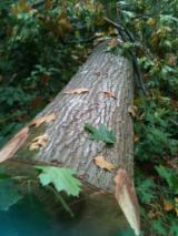 Oak  Hardwood Logs - Red Oak Log 40+ cm
