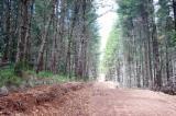 null - Radiata Pine Forest