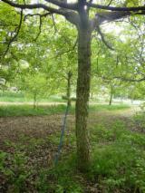 Dubeće Drvo Bez Certifikata - Španija, Orah (evropski)