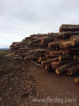 Tanoaks Logs - West Coast of USA
