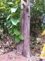 Hardwood  Logs - PEFC/FFC, 30-40 cm, teck et bois de rose, Peeling Logs, Togo, region des plateaux , centrale et kara