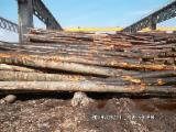 Hardwood Logs importers and buyers - 30+ m Beech (Europe) Saw Logs from Romania