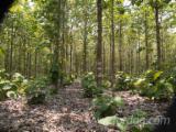 Madera En Pie En Venta - Plantación de Tecotona Grandis (teca) de 15 años de edad