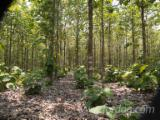 Standing Timber - Plantation of Tecotona grandis ( teak) 15 years old