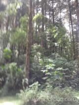 Tropsko Drvo  Trupci - Mljevenje,Sitnjenje, cipres, kostarika