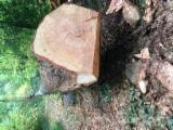Softwood  Logs France - Saw Logs, Douglas Fir (Pseudotsuga)