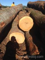 Red Oak saw logs for sale