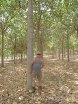 Tree plantation of Paulownia specs for immediate sale Location Western