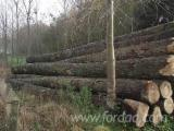 Drewno Liściaste Kłody Wymagania - Kłody Okleinowe, Topola, Serotina