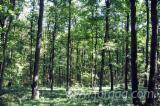 Waldgebiete Eiche - Rumänien, Eiche