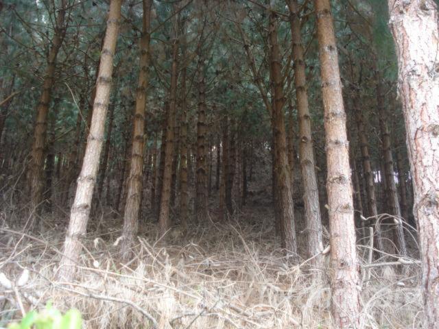 Peru--Radiata-Pine-%28Pinus-radiata