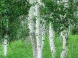 Hardwood  Logs China - birch log