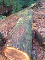 Hardwood  Logs Netherlands - Saw Logs, Elm