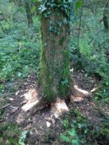 WANTED WHITE ASH LOG'S SUITABLE FOR HURLEY'S