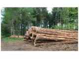 Softwood  Logs France - White softwood logs