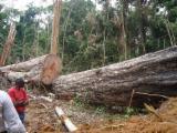 Tropsko Drvo  Trupci - Za Rezanje (Furnira), Bubinga (Kevazingo, Akume), Kamrun, PEFC/FFC