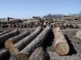 saw oak logs