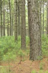 Logs, Southern Yellow Pine