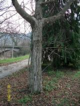 Mature Trees For Sale - Buy Or Sell Standing Timber On Fordaq - Walnut (European)