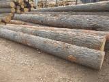 Softwood  Logs Ukraine - Saw Logs, Mongolian Scotch Pine (Pinus Sylvestris)