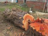 Softwood  Logs France - Veneer Logs, Eastern Red Cedar