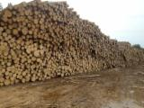 Softwood  Logs - Saw Logs, Fir (Abies alba, pectinata), FSC