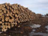 Hardwood  Logs - Saw Logs, Birch (Europe), CE