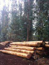 Răşinoase  Buşteni - bustean necojit, Eucalyptus Nitens