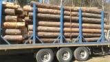 Softwood  Logs For Sale Poland - Saw Logs, Pine (Pinus sylvestris) - Redwood