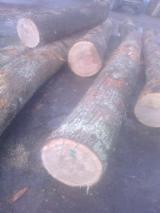 Veneer Logs, Oak (European)