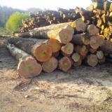 Chestnut  Hardwood Logs - 20-40 cm Chestnut Saw Logs from Italy, Lazio