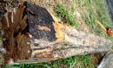 硬木原木  - Fordaq 在线 市場 - 单板级原木